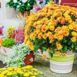 Хризантема в горшке уход в домашних условиях