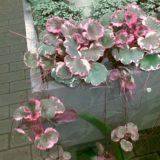Камнеломка плетеносная Tricolor