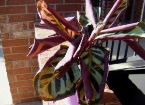скручиваются-листья-калатеи
