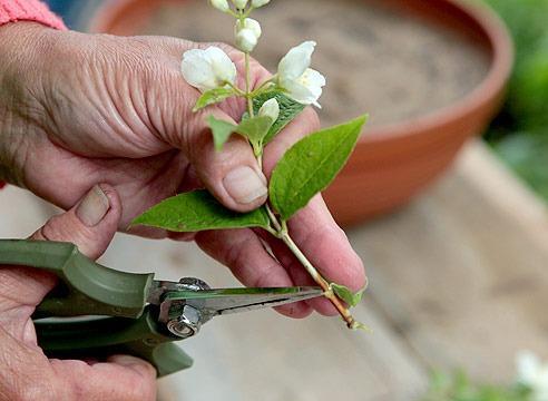 Комнатный жасмин - размножение его черенками