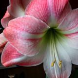 Амариллис Розовый великолепный