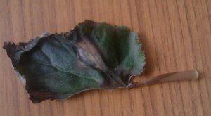 отпал лист у бегонии