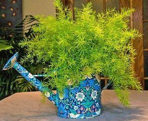 листья аспарагуса желтеют