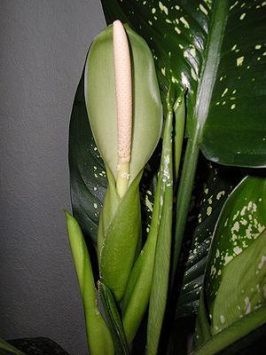 Диффенбахия цветет