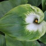 Калла эфиопская Зеленая богиня