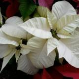 Пуансеттия Sonora White