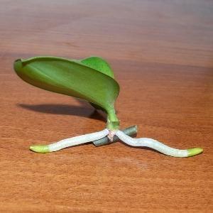 Фаленопсис размножение