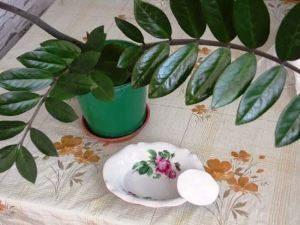 Протирать листы замиокулькасу