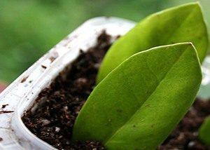 Замиокулькас размножение частью листа