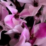 Цикламен персидский Весенний мотылек