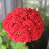 Зональная пеларгония красная розебудная