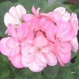 Зональная пеларгония розовый махровый сорт