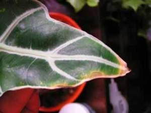 Алокация кончики листьев