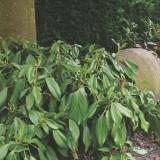 Плющ колхидский Arborescens
