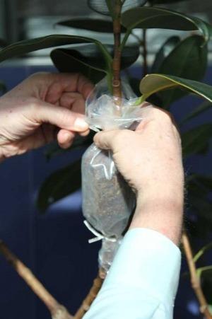 Размножение фикуса отводками