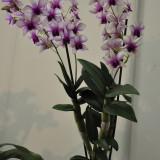 Дендробиум фаленопсис