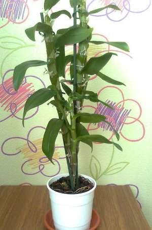 Дендробиум не цветет