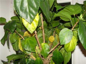 Гибискус желтеют и опадают листья