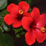 Гибискус китайский Rosa
