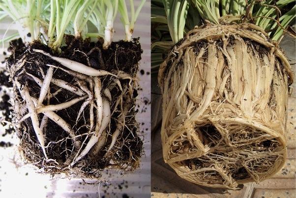 Хлорофитум корни