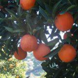 Апельсин Сангвинелло
