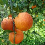 Апельсин Тарокко Россо
