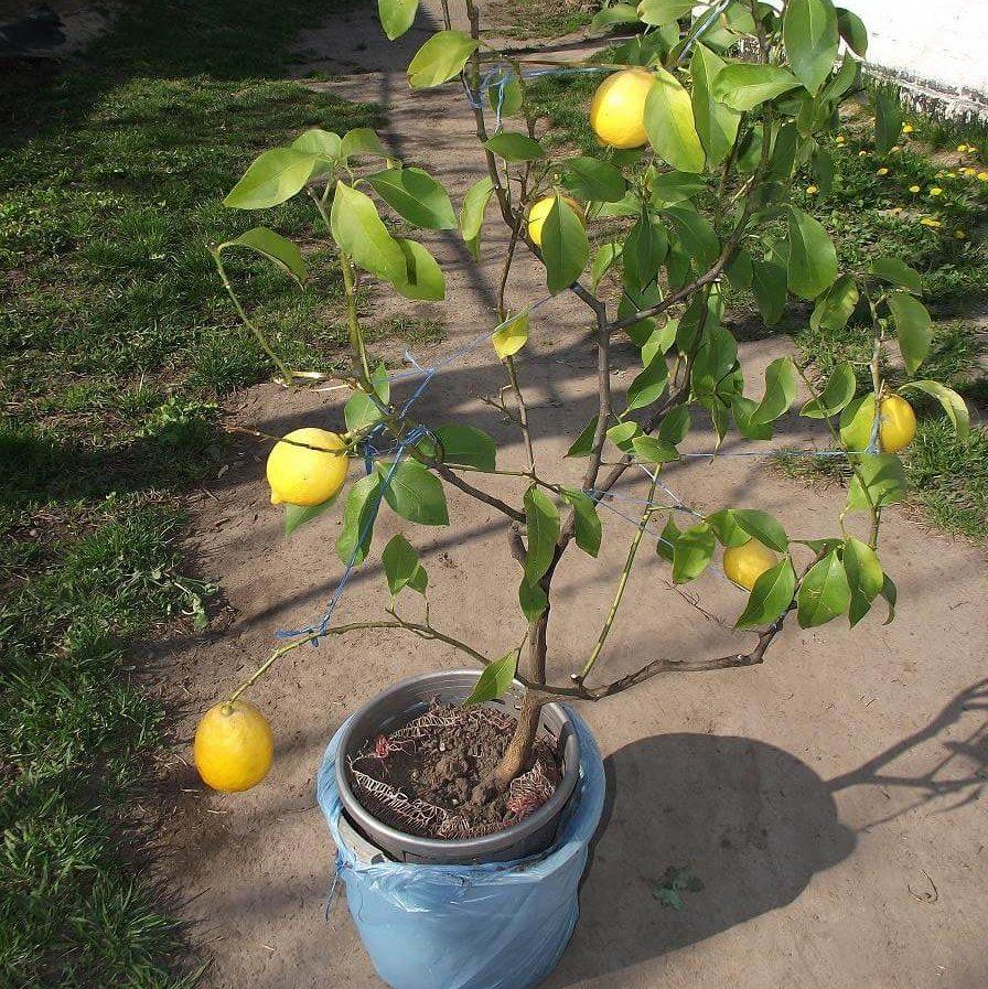 алтай первый павловский лимон фото любым цветом волос