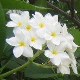 Плюмерия белая