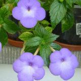 Ахименес длинноцветковый