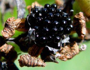 Венерина мухоловка семена