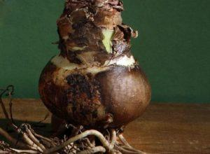 гиппеаструм луковица