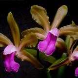 Каттлея bicolor