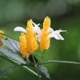 Пахистахис желтый
