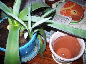 пересадка агавы