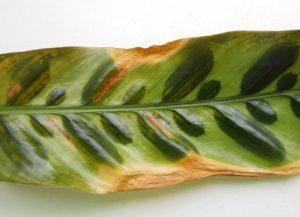 Строманта сухие листья