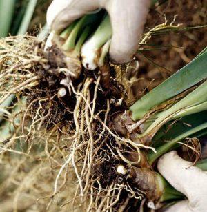 Растения размножающиеся вегетативным способом