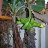 Банан Кавендиш Суперкарликовый