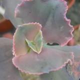 Эхеверия горбатоцветная Crispata