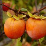 Как правильно выращивать хурму в домашних условиях?