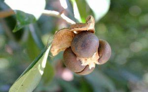 Камелия семена