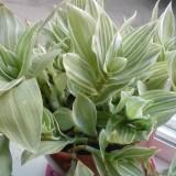 Традесканция белоцветковая Albovittata