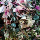 Традесканция белоцветковая Tricolor