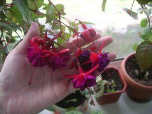 Фуксия (фото цветов) - советы, секреты, рекомендации