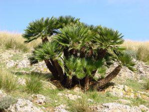 Хамеропс приземистый описание вида и руководство по уходу за растением