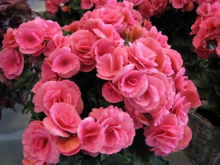 Бегония махровая розовая уход выращивание 77