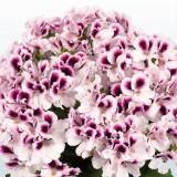 Зональная пеларгония ангельская розовая