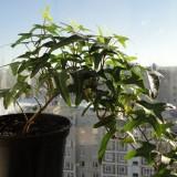 Плющ обыкновенный Sagittaefolia