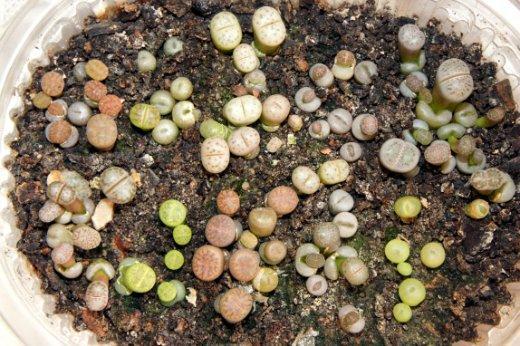 Литопсы выращивание из семян в домашних условиях 44