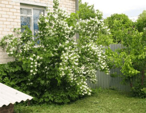 Когда и как сажать жасмин весной 92