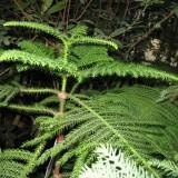 Араукария разнолистная